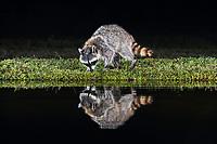 Northern Raccoon (Procyon lotor), adult at night at pond, Dinero, Lake Corpus Christi, South Texas, USA, North America