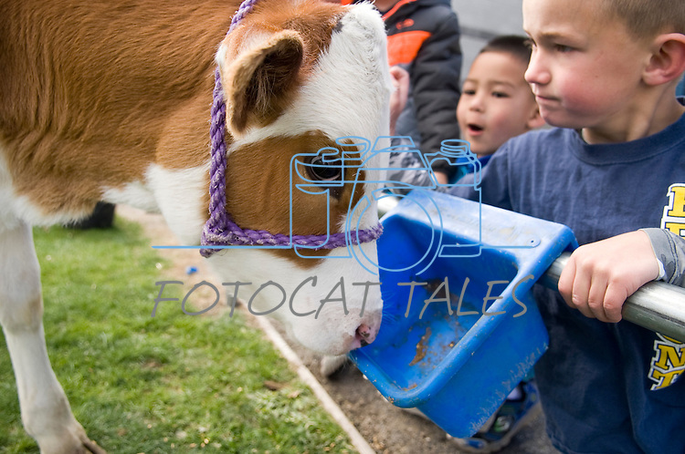 From left, Clayton Hoggatt, 6, and Ryder Rubke, 6, participate in the cow plop fundraiser at Fremont Elementary School in Carson City, Nev., where they were able to meet Buttercup, a Holstein Ayrshire mix, Friday, April 15, 2016.<br /> Photo by Candice Nyando
