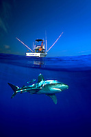 OCEANIC WHITETIP SHARK Carcharhinus longimanus AND FISHING BOAT. sharks over under underwater fish fishes boating fishing fisherman blue sport