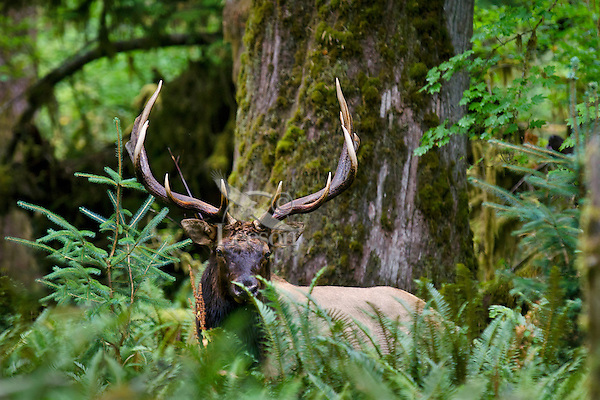 Roosevelt Elk Bull (Cervus canadensis roosevelti) in Olympic Rainforest, WA.  Late Sept.