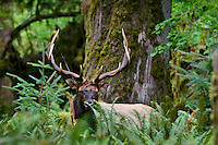 Roosevelt Elk Bull (Cervus canadensis roosevelti) in Olympic Rainforest, WA.  Late Sept.