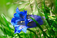 Rare Clusiuss Gentian ( Gentiana Cluisii ) . Swiss Alps Switzerland Europe