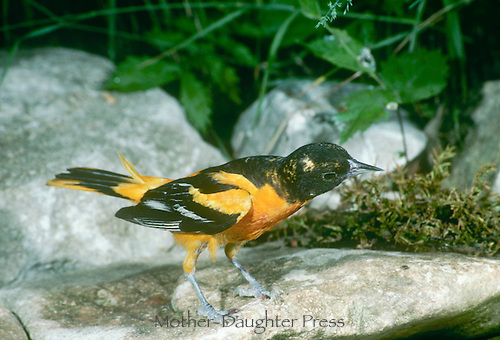 Oriole with blackberry stains on his beak appears to consider a rocky pool for a bath