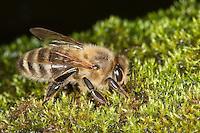 Honigbiene, Honigbienen trink Wasser aus feuchtem Moospolster, Honig-Biene, Biene, Apis mellifera, Apis mellifica, honey bee, hive bee