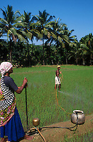 INDIA Karnataka Taccode, rice farming, spraying of synthetic pesticide / INDIEN Karnataka, Reisanbau, Schaedlingsbekaempfung mit chemischen Pestiziden