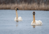 Trumpeter Swans (Cygnus buccinator) in Southcentral Alaska. Photo by James R. Evans