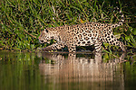 Wild male Jaguar (Panthera onca palustris) stalking along the edge of a backwater of the Cuiaba River in late afternoon sun light. Northern Pantanal, Brazil.