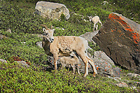 Bighorn Sheep or Mountain Sheep (Ovis canadensis) ewe nursing young lamb.  Northern Rockies.  June.