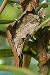 """""""Dead Leaf"""" Leaf-tailed Gecko (Uroplatus ebenaui) sleeping amongst dead and shrivelled leaves. Mantadia National Park, Eastern Madagascar."""