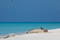 Hawaiian monk seals, Neomonachus schauinslandi, Critically Endangered endemic species, Sand Island, Midway, Atoll, Midway Atoll National Wildlife Refuge, Papahanaumokuakea Marine National Monument, Northwest Hawaiian Islands ( Central North Pacific Ocean )
