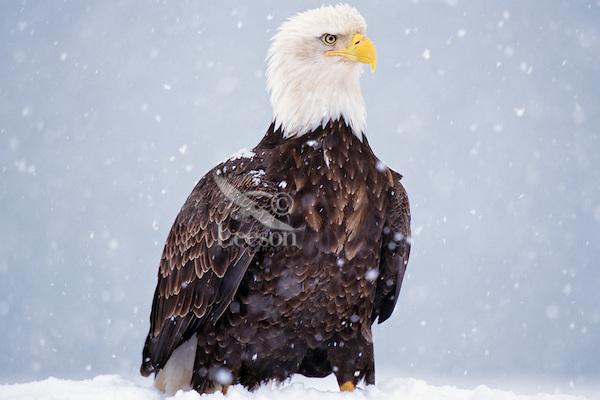 Bald Eagle standing on ground during snowstorm--eagles seem to hate to fly while it is snowing heavily.