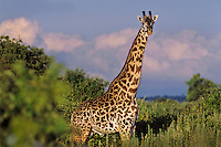 Masai Giraffe (Giraffa camelopardalis), East Africa.  Sunrise.