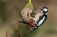 Buntspecht, Männchen an der Vogelfütterung, Fütterung am Meisenknödel, Knödelhalter, Fettfutter, Bunt-Specht, Specht, Spechte, Dendrocopos major, Great Spotted Woodpecker, male, Woodpeckers, Pic épeiche. Ganzjahresfütterung, Vögel füttern im ganzen Jahr, Vogelfutter