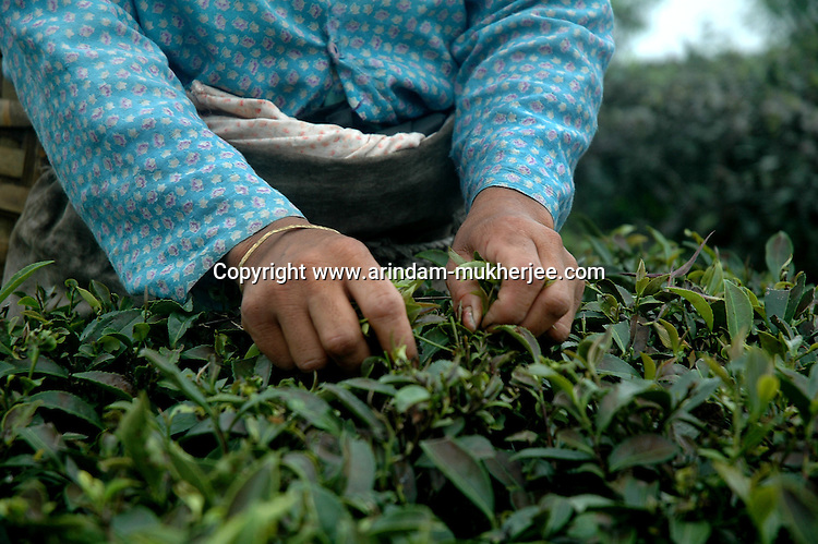 INDIA (West Bengal - Darjeeling) June 2007,A woman plucking tea at  Makaibari tea garden.The Darjeeling tea industry has a work force of 45000 women tea pluckers who gets a wage of 1 usd a day. Most of the tea pluckers are from the tribal community. Makaibari produces the most expensive tea in the world. They produce the tea organically (without using any fertilizers or spraying pesticides)through permaculture.  Makaibari is situated at the misty foot hills of Darjeeling Himalayas - Arindam Mukherjee