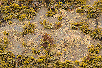 Rock surface in intertidal zone being colonized by barnacles and rockweed.  Olympic National Park, WA.