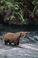 609682177 a wild adult brown bear ursus arctos stands in the riverlooking for jumping salmon in katmai national park alaska