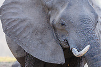 africa, Zambia, South Luangwa National Park, elephant