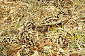 01262-007.09 American Woodcock hen with four chicks less than one day old show incredible cryptic coloration.