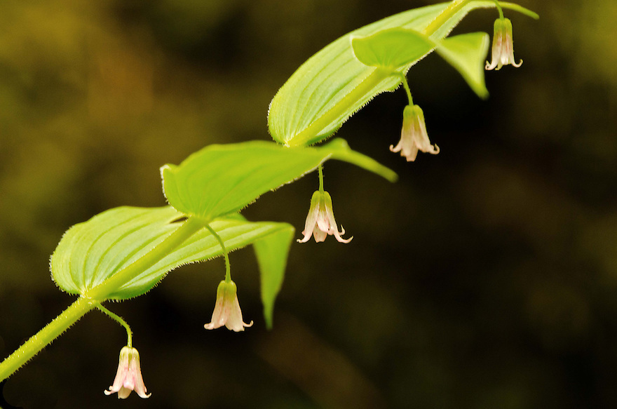 A quintet of Hairy Solomon's Seal Blossoms on a cloudy spring day.