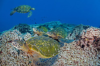 green sea turtle, Chelonia mydas, resting at cleaning station, breathing, Maui, Hawaii, USA, Pacific Ocean