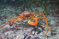 Spider Crab, Leptomithrax gaimardii, a large spider crab that has somehow lost one of its claws, Port Hughes, South Australia, Australia, Southern Ocean