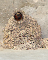 The gregarious Cliff Swallow (Petrochelidon pyrrhonota) nests in large colonies on buildings, cliffs, and under bridges (as seen here).