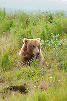 A brown bear takes a break from fishing at the McNeil River Falls,  in Alaska's McNeil River State Game Sanctuary.