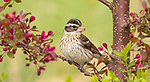 Female rose-breasted grosbeak in a flowering crabapple tree