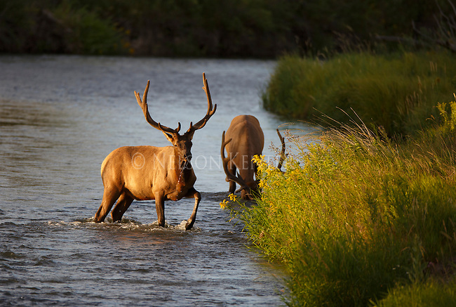 Two bull elk in a stream in western Montana