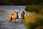 Two bull elk in a stream in western Montana