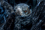White-footed sportive lemur (Lepilemur leucopus), Toamasina, Madagascar<br /> <br /> Canon EOS-1Ds Mark II, EF500mm +2x lens, f/9 for 1/25 second, ISO 200