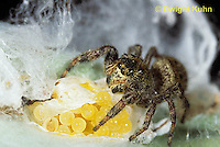JS01-009x  Jumping Spider - female protecting eggs - Phidippus clarus