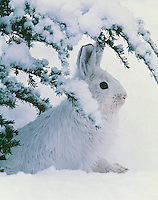 Snowshoe hare (Lepus americanus), winter. Digital File Only.
