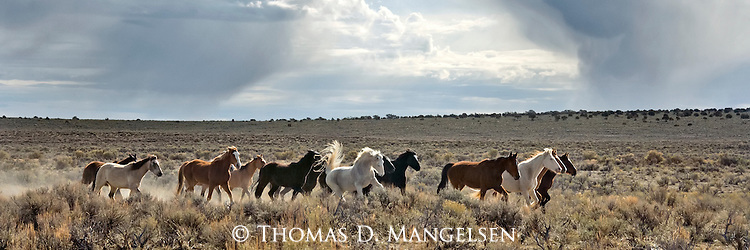 A group of horses run through a sage field as a storm  builds in the distance in Northwest Colorado.