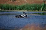 Osprey fishing in a pond.