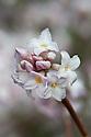 Fragrant pink and white flowers of the evergreen shrub Daphne bholua 'Jacqueline Postill', late February.