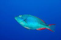 redband parrotfish, Sparisoma aurofrenatum, initial phase, Esmeralda Canyons, Ambergris Caye, Belize, Central America (Caribbean Sea)