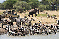 Grant's Zebras, Equus quagga boehmi, drink from a pond while tourists in a safari vehicle photograph an African Elephant, Loxodonta africana, in Tarangire National Park, Tanzania
