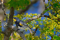 Yellow-rumped Warbler (Dendroica coronata) in maple tree.  Pacific NW, April.