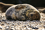 "This seal looks content as it relaxes on a beach in Norfolk.<br /> <br /> The sunbathing seal looks like it was loving life on the beach at Horsey Gap, Norfolk. The females have started to return to have their pups. <br /> <br /> Will Hall, a teacher at Winchester College, Hants, said ""The mothers come in between October-January to have their babies and then mate again.""<br /> <br /> ""They spend most of their time resting and eating before they give birth. This seal looks so happy! I like to think that she's dreaming of her new baby.""<br /> <br /> ""I love how peaceful they look. The light in particular was lovely and the whole scene was just idyllic.""<br /> <br /> Please byline: Will Hall/Solent News<br /> <br /> © Will Hall/Solent News & Photo Agency<br /> UK +44 (0) 2380 458800"