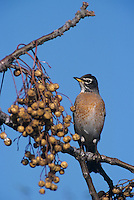 American Robin, Turdus migratorius, male eating berry from Chinaberry Tree (Melia azedarach), Lake Corpus Christi, Texas, USA, March 2003