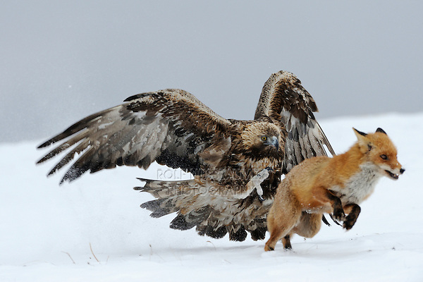 Golden Eagle (Aquila chrysaetos), adult defending carcass against Red Fox (Vulpes vulpes), Sinite Kamani National Park, Bulgaria, Europe