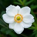 Japanese anemone x hybrida 'Honorine Jobert', early October.