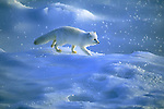 Arctic fox walks across the blue ice of Hudson Bay.