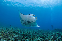 reef manta ray, Mobula alfredi, being cleaned by Hawaiian saddle wrasse, Thalassoma duperrey, (endemic species) at cleaning station on coral reef, Ukumehame, West Maui, Hawaii (Central Pacific Ocean)