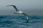 White-capped Albatross (Thalassarche steadi) flying over ocean, Kaikoura, South Island, New Zealand