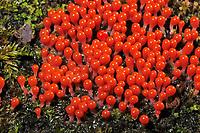 Schleimpilz, Fruchtkörper, Trichia, Trichia spec., Schleimpilze, Myxomycetes, slime mold, slime molds
