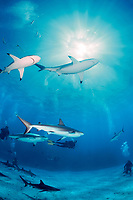 blacktip and Caribbean reef sharks, Carcharhinus limbatus and perezii, with divers, Bahamas, Caribbean Sea, Atlantic Ocean