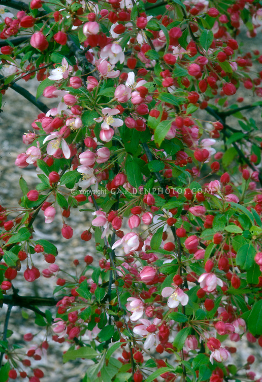 Flowering crabapple in spring bloom with red buds and pink flowers of Malus floribunda . Small growing, dwarf crabapple tree . Crab apple