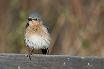 Female eastern bluebird preening